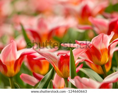 Colorful tulips in the Keukenhof, the Netherlands