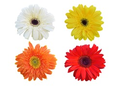 Colorful vibrant bright gerbera daisy flowers blooming isolated on white background.