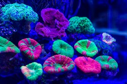 Colorful vibrant Scolymia Brian Coral on live rock