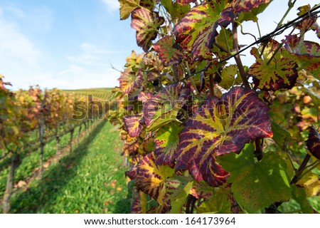 Colorful Vineyard Landscape in Autumn With Blue Sky