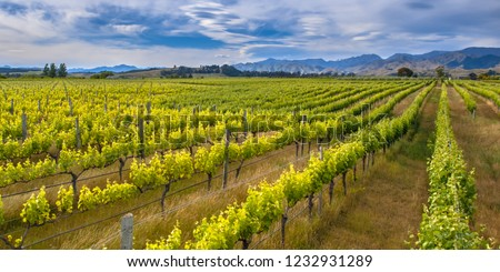 Colorful Vineyard sideview under dramatic sky with lenticular clouds in Marlborough area new zealand #1232931289