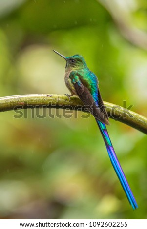 colorful violet tailed sylph perched on branch in forest #1092602255