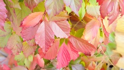 Colorful Virginia Creeper leaves. Autumn background. Selective focus.