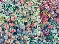 Colorful Virginia creeper on the wall in autumn season.