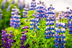 Colorful vivid blue and purple lupine flowers in Iceland with blurred background bokeh blossoms during cloudy day