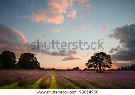 Colorful vivid Summer sunset over lavender fields with lovely cloud formations