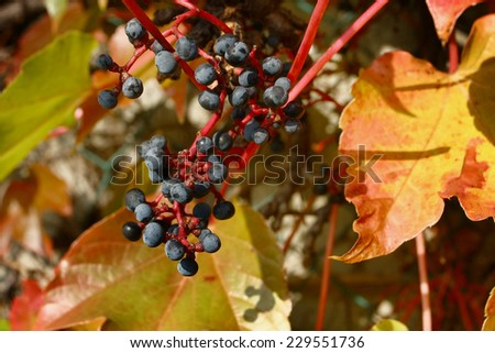 colorful wild grape at autumn