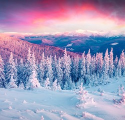 Colorful winter scene in the Carpathian mountains. First light of sunrise glowing fir trees and fresh snow in frosty morning.