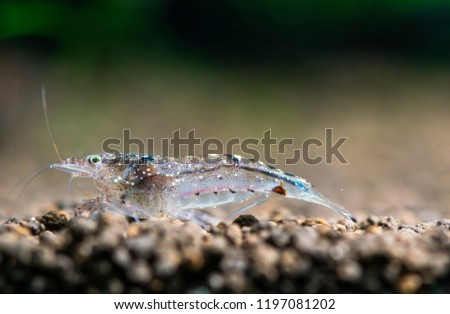 Colorful yamato dwarf shrimp on aquatic soil in fresh water aquarium tank #1197081202