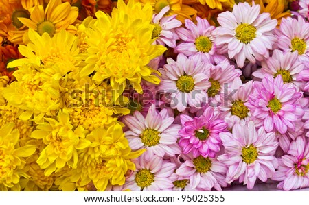 Colorful yellow and pink chrysanthemum  flowers