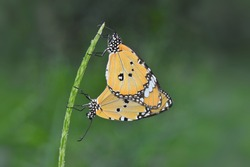 Colorful yellow Butterfly which is mating
