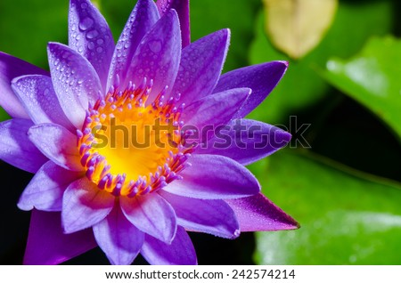 Colorful yellow carpel and water drops on purple lotus flower