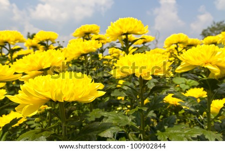 Colorful  yellow chrysanthemum  flowers in garden