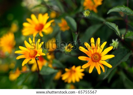 Colorful yellow flowers surrounded by green leaves.