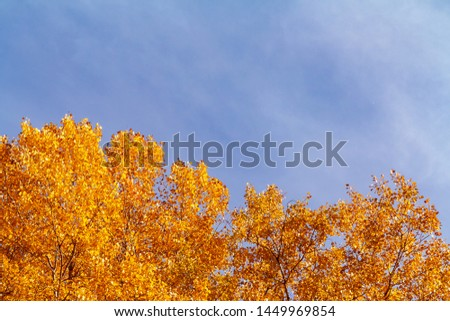 Colorful yellow orange foliage of autumn trees in the forest against the blue sky - beautiful autumn background with place for text