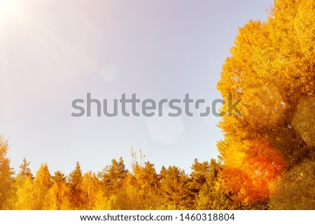 Colorful yellow orange foliage of autumn trees in the forest against the sky - beautiful autumn background with place for text