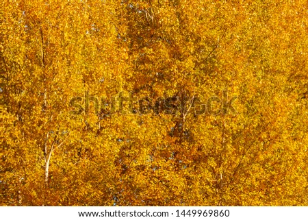 Colorful yellow orange foliage of autumn trees in the forest - autumn texture, background