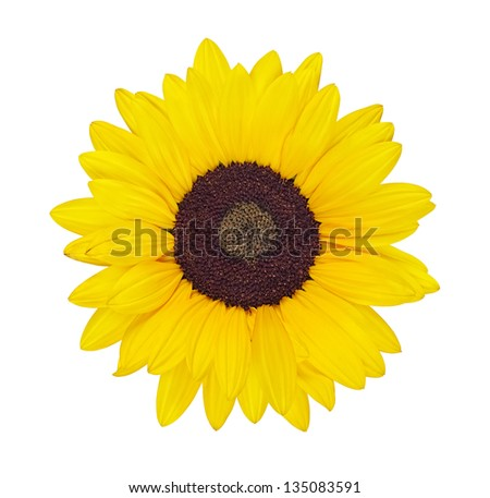 colorful yellow sunflower isolated on white  background