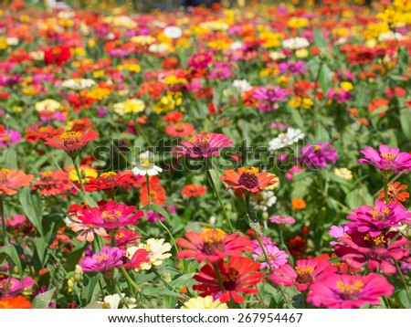 Colorful Zinnia Flower Field Background