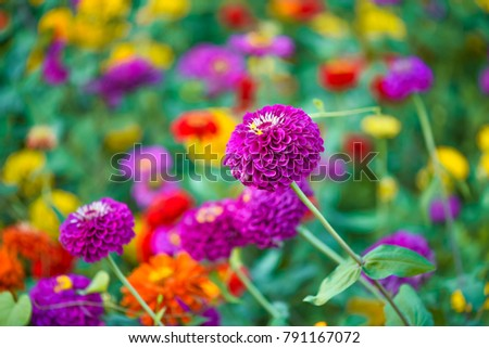 colorful zinnia flowers blooming in field