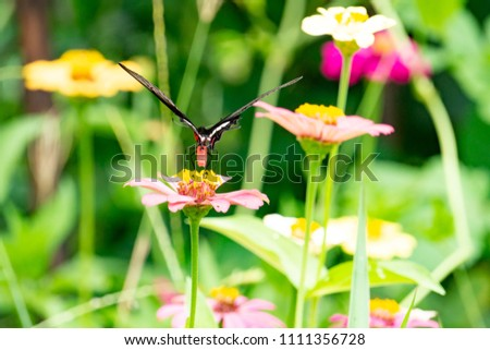 Colorful zinnia flowers,Butterfly drinking nectar from zinnia flowers on the spring morning,Thailand #1111356728