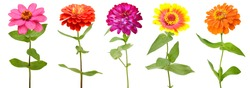 Colorful zinnia flowers, celebrating blooming