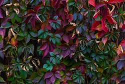 Colorfull leaves texture. Parthenocissus colorfull green and red leaves texture.