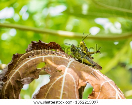 colorfull picture of mating locoust on a dead papaya leaves
