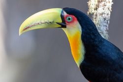 Colorfull Red-brested Toucan (Tucano-de-bico-verde) on a tree branch in the Atlantic rainforest, at The Itatiaia National Park, Brazilian conservation unit of integral nature protection.