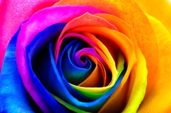 Colorfull rose flower : rainbow flower with colored petals