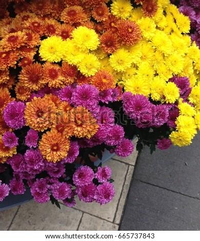 Colors Mums (Flower) #665737843