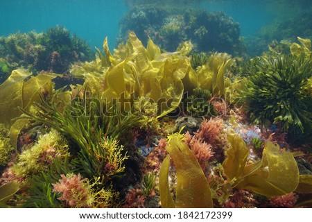 Colors of marine algae underwater in the Atlantic ocean, Galicia, Spain, Pontevedra Сток-фото ©