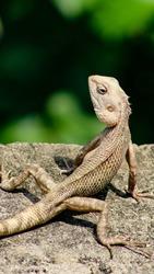colour changing garden lizard looking backwards ( Oriental garden lizard/ eastern garden lizard/ bloodsucker / changeable lizard)