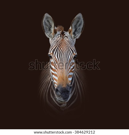 Colour portrait of a Cape Mountain Zebra