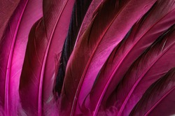 coloured bird feathers, close-up, feathers in red, maroon, top view, macro