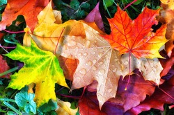 Colourful autumn leaves fallen onto green grass with small water droplets and spider  close up