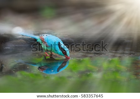 colourful blue bird drinking...
