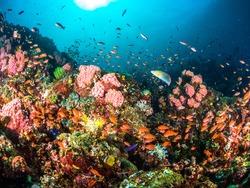 Colourful corals in Anilao , Batangas , Philippines