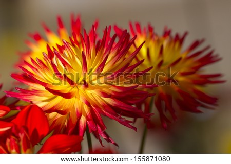 colourful dahlia flowers