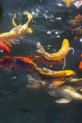 Colourful fish in the pond.