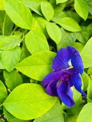 colourful flower, fresh butterfly pea flower or blue pea, bluebellvine , cordofan pea, clitoria ternatea on green tropical foliage nature background
