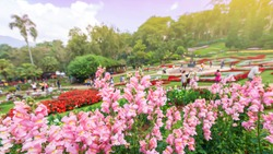 Colourful flowers in full bloom in the tropical garden, a group of tourists relaxing blurred in the backgrounds. Doi Tung, Mae Fah Luang Garden, Chiang Rai, Thailand. Focus on pink flowers.