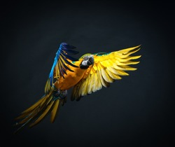 Colourful flying Ara on a dark background