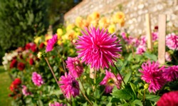 Colourful garden flower Pink dahlia in bloom with garden wall in background