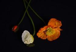 Colourful poppy flower arrangement on a black background.