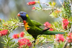 Colourful rainbow lorikeet sitting in a bottle brush tree facing to the left