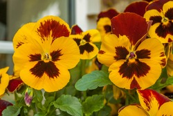 Colourful Red and Yellow Pansies in bloom