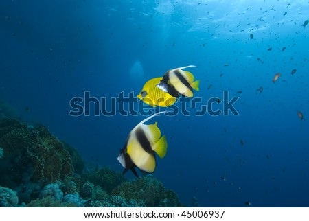 Colourful Red Sea Bannerfish (heniochus intermedius) and Masked Butterflyfish (Chaetodon semilarvatus). Red Sea, Egypt. MORE INFO: These two species of fish are often seen in small schools together.