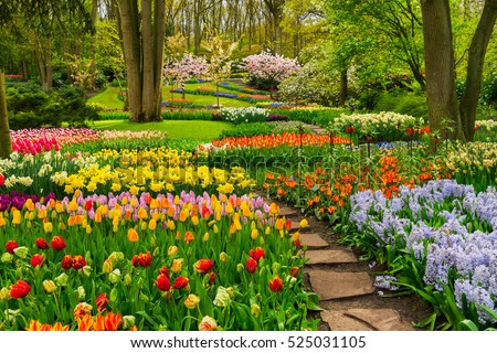 colourful tulips flowerbeds and ...