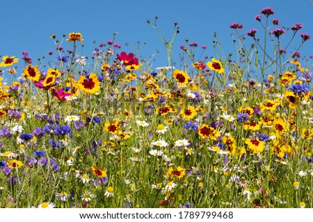 Colourful wild flowers blooming outside Savill Garden, Egham, Surrey, UK, photographed against a clear blue sky.
